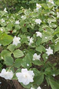 Редкие растения в наших садах - Страница 7 0_16e0ca_83975dc_M