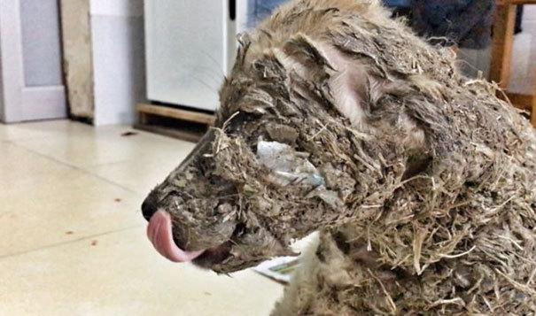 Ветеринарам пришлось сбрить всю загрязнённую клеем шерсть вместе с прилипшими к ней травой, ветками