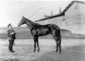 Лошадь Дарго, победитель приза конезаводчика.