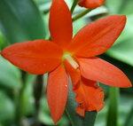 Орхидеи - Blc. Young-Min Orange