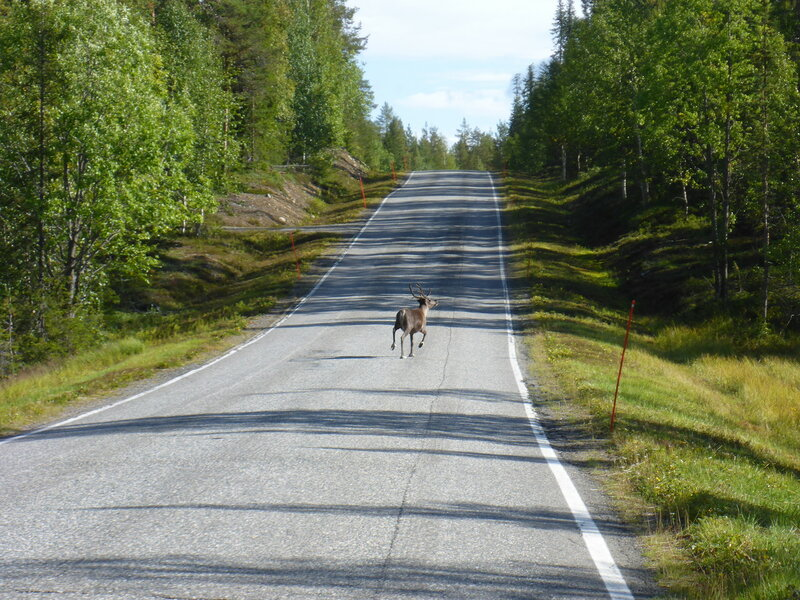 олень бежит по дороге в лапландии