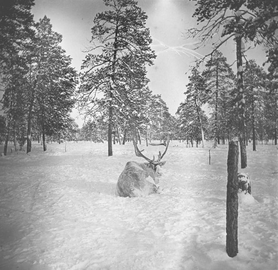 66. Олени в лесу