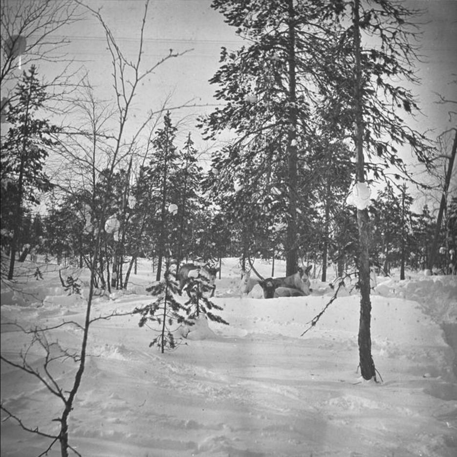 91. Олень в лесу