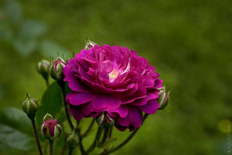 Лиловая роза с бутонами