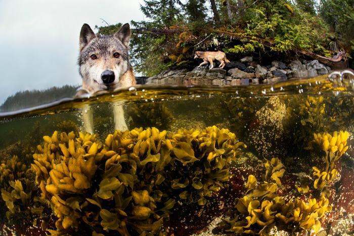 Основной едой (вплоть до 90%) прибрежных волков являются морские животные: лосось, раки, моллюски, м
