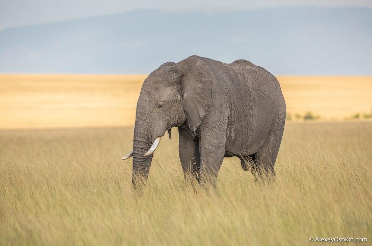 Какого размера хобот у слона (12 фото)