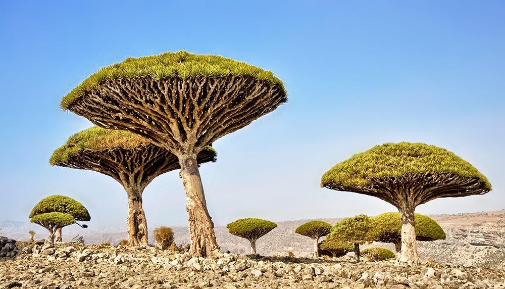© Rod Waddington/flickr     Необычность пейзажам архипелага Сокотра придают дерев