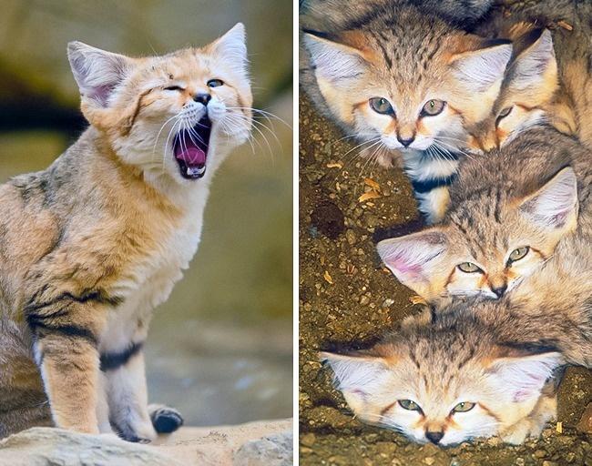 © flickr  © eastnews     Помимо Центральной Азии барханные коты обитают водном из