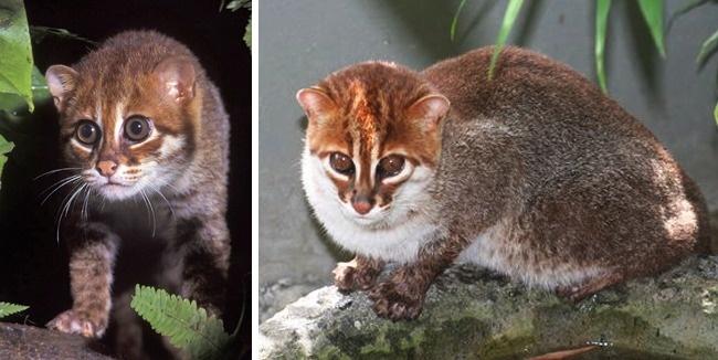 © wikipedia  © eastnews     Суматранские кошки, обитающие вЮго-Восточной Азии, нас