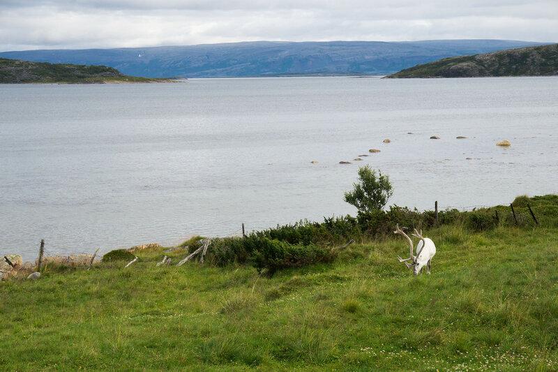 белый северный олень на берегу моря в северной норвегии