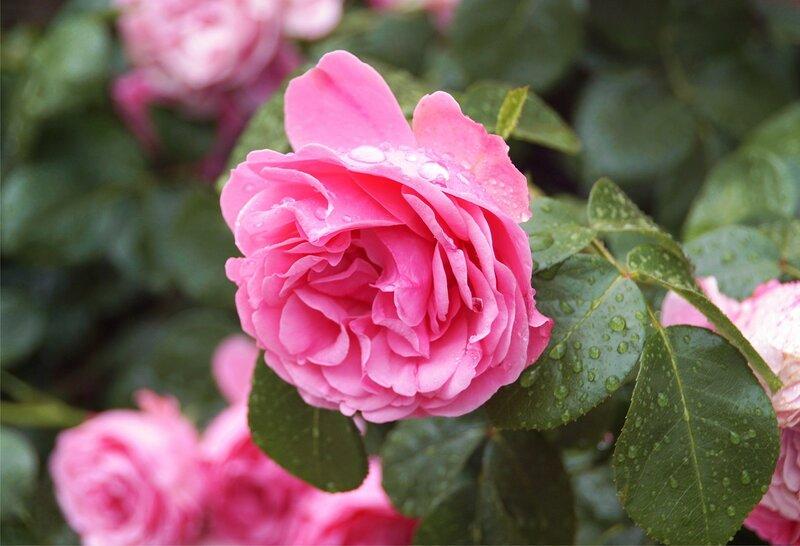 Дождь и розы