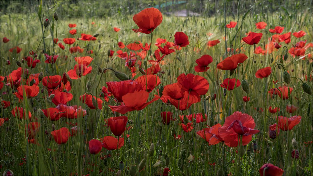 Красные маки / фото Paola Bottoni
