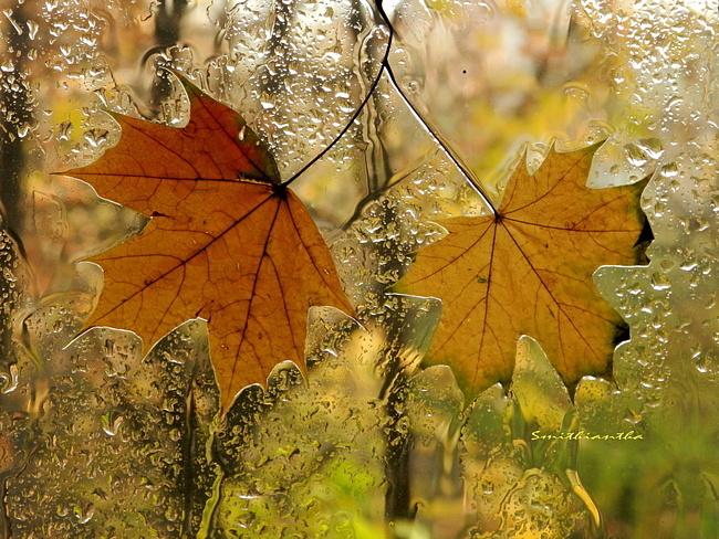 Открытки. Осень. Кленовые листья на стекле
