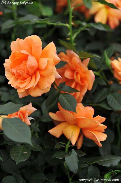 Rosa Jane Austen (1).JPG