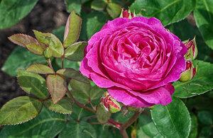 Летние розы