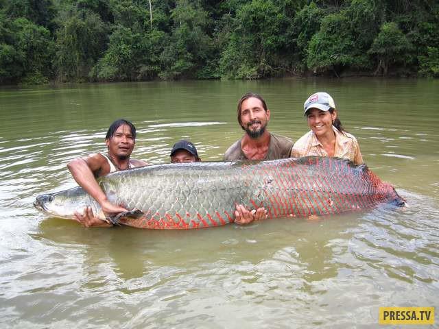 Арапаима является самой большой пресноводной рыбой в мире. Данный экземпляр был найден в реке Эссеки