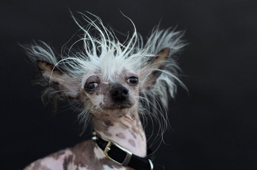 Самые уродливые собаки конкурса World's Ugliest Dog Competition за последние 11 лет