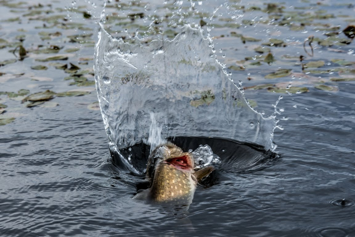 Платная рыбалка в Подмосковье на Савельевских прудах (1 фото)