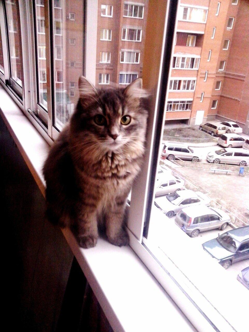 сибирская кошка.jpg
