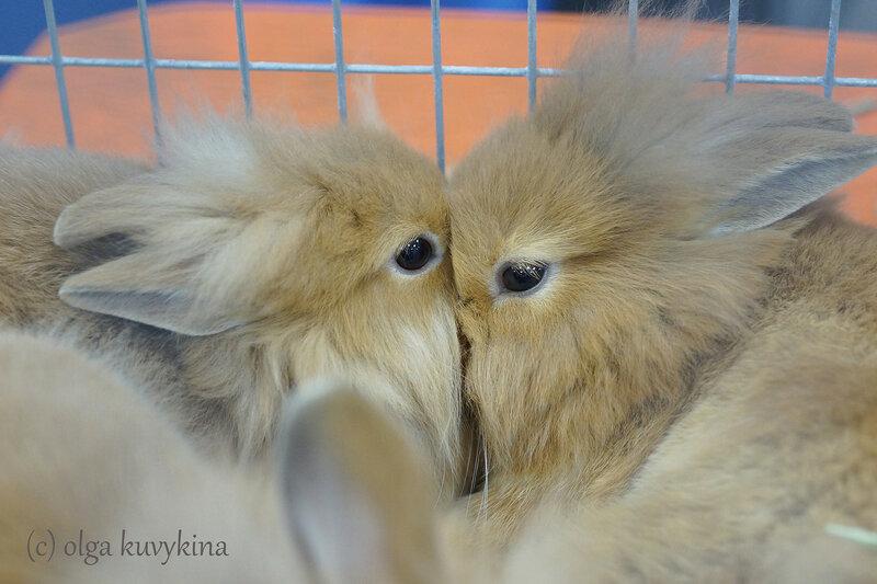 Львиноголовые кролики