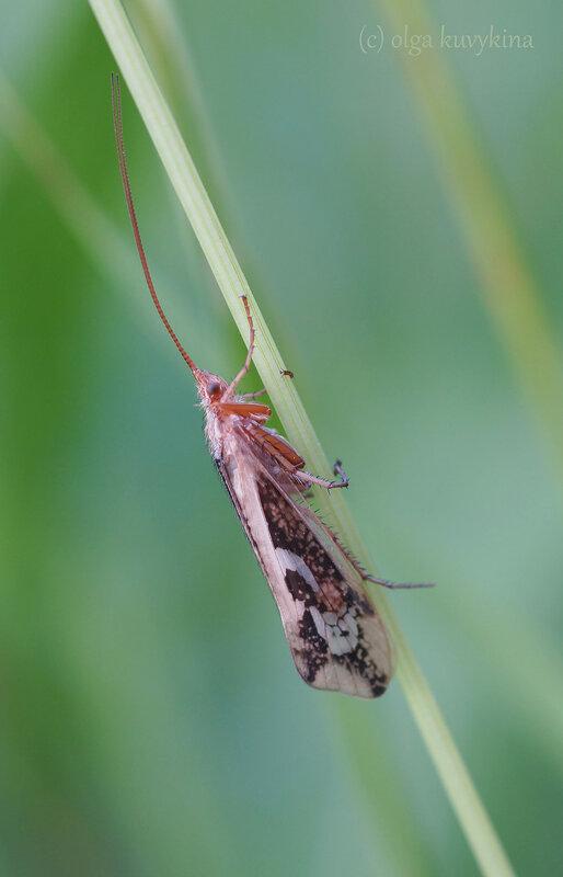 Ручейник (Trichoptera)