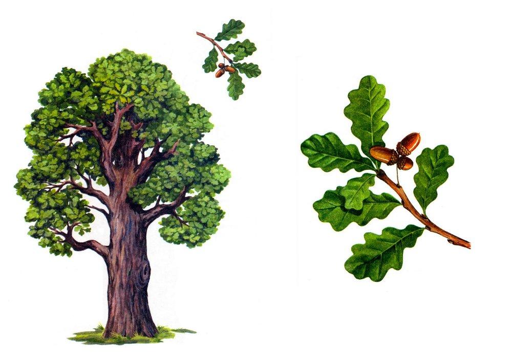 14 мая Всероссийский день посадки леса. Ты посадил дуб