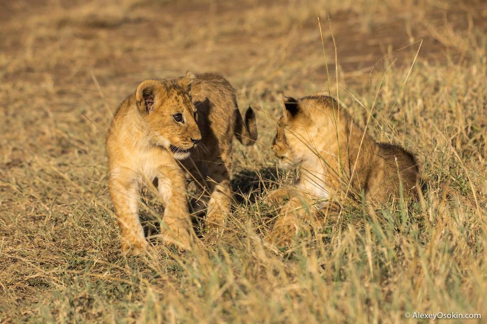 4. Масса взрослых львов составляет 150—250 кг у самцов и 120—182 кг у самок. Львы из Южной Афри