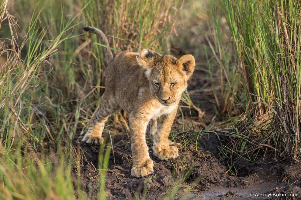 11. Львы похожи на лентяев, ведь 20 часов в сутки они спят или отдыхают.