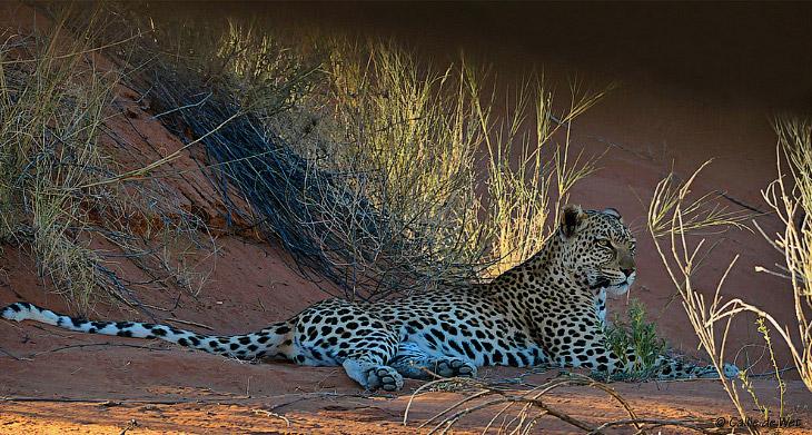 Размеры и масса леопардов зависят от географической области обитания и сильно варьируют. Особи,