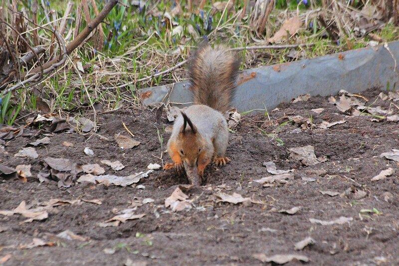 Белочка прячет шишку в выкопанную ямку - Чем питаются белочки ранней весной