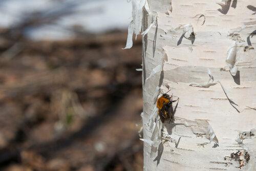 Альбом:  Мир под ногами / насекомые,Перепончатокрылые,Перепончатокрылые - Hymenoptera / Пчелы Вятки /  Apidae - Пчёлы настоящие Автор фото: Владимир Брюхов