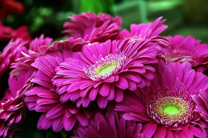 Цветок герберы-это тайна