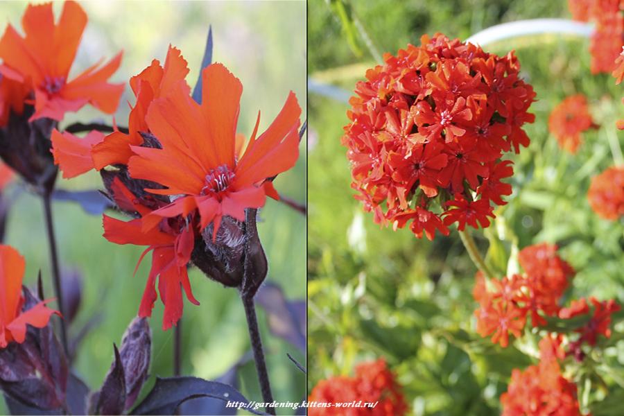 Какие цветы можно посадить под зиму - 24 многолетника-Лихнис