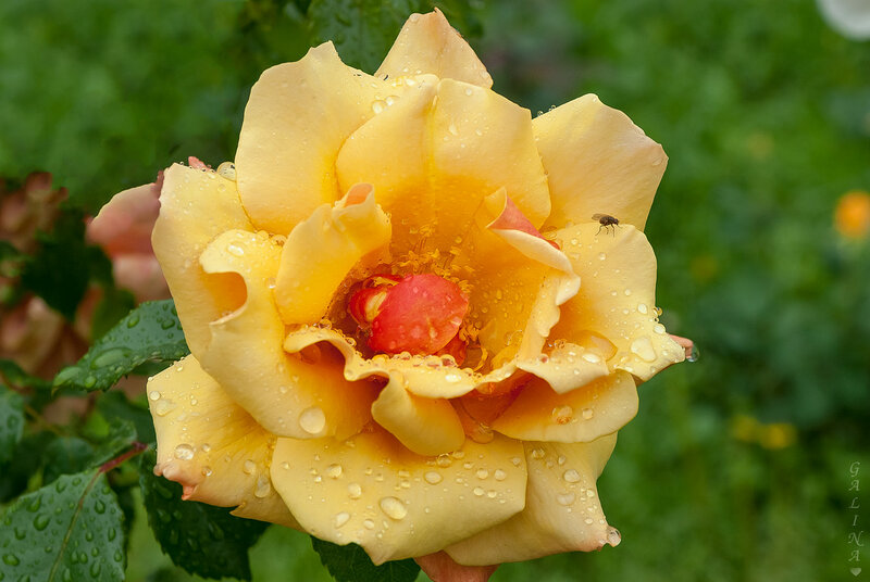Роза с мушкой