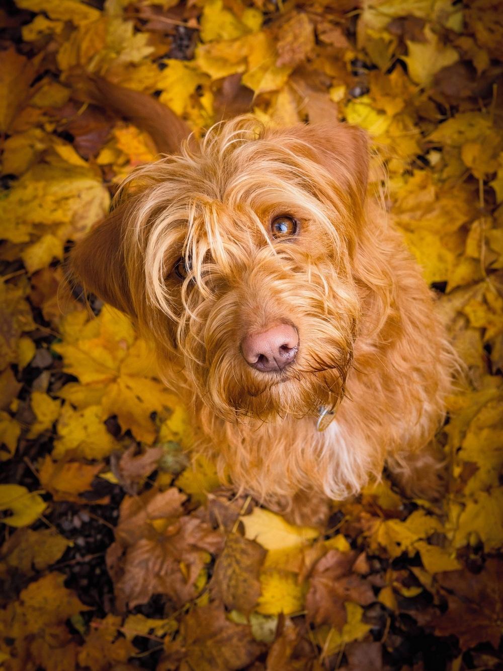 Эта фотография молодого лабрадудля называется «Белла в осенних листьях». Автор фото: Ноэль Беннетт.