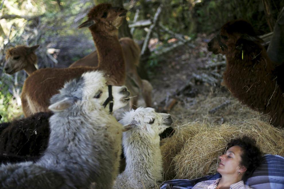 5. Выпас Альпак. Пости, как коровы. (Фото Rafael Marchante | Reuters):