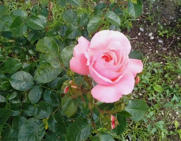 Розовая  королева.jpg