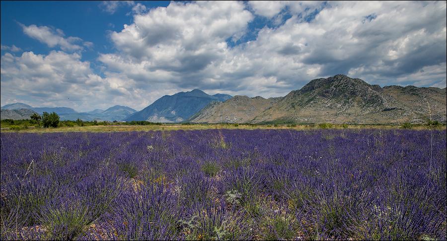 Лавандовые поля в Албании