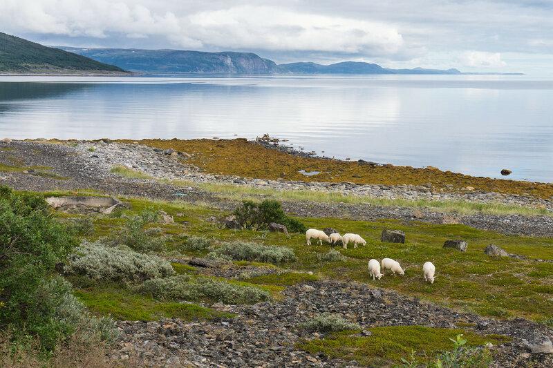 овечки на берегу баренцева моря на полуострове порсангер