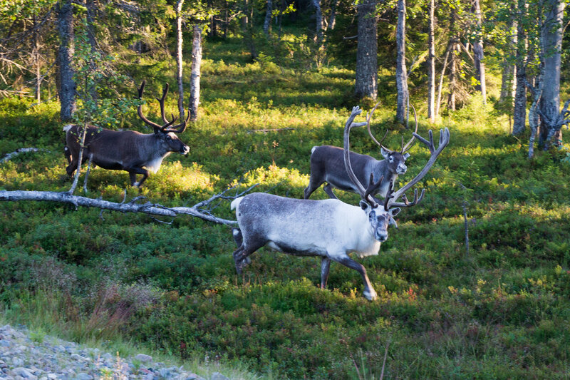 северные олени в лапландии