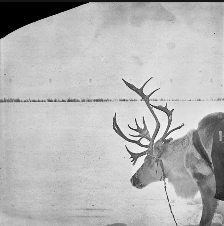 210. Олени на реке Оби. Экспедиция Кая Доннера достигла места своего назначения