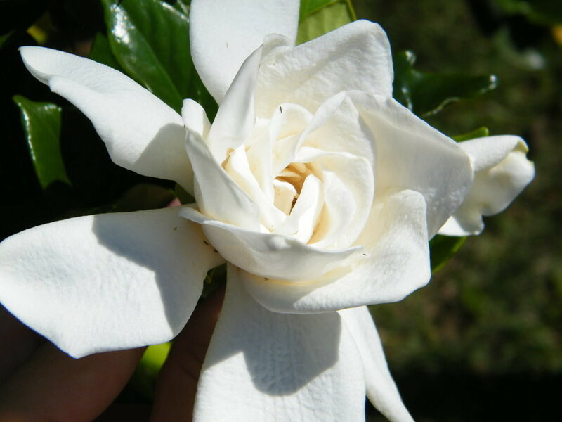 a_jasmine_flower_by_lotusallice-d4fu3ng.jpg