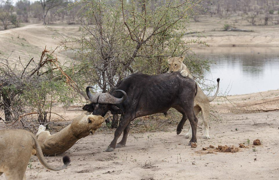 Выживает сильнейший: львы завалили буйвола