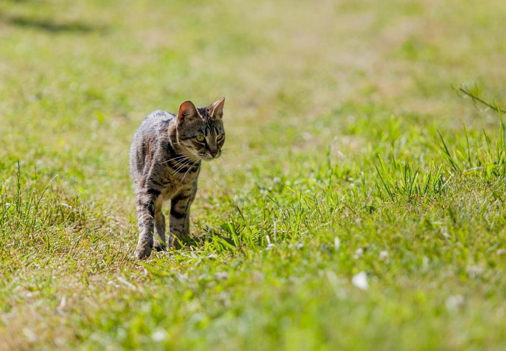Кошка ловила зайцев на даче, ее хозяина чуть не оштрафовали