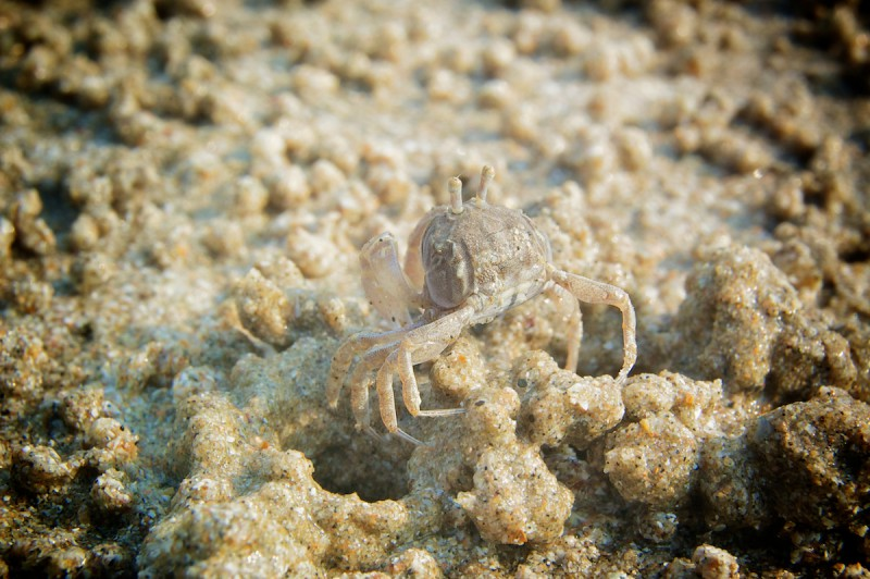 Песчаный краб.