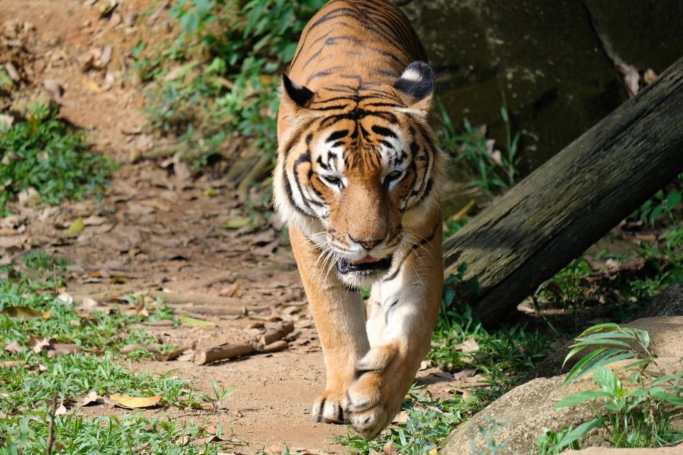 5. Индокитайский тигр ( Panthera tigris corbetti ). Довольно многочисленный подвид, обитающий в