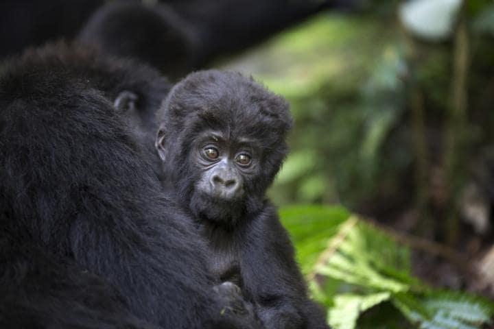 Национальный парк Вирунга, Конго. Под угрозой с 1994 года.