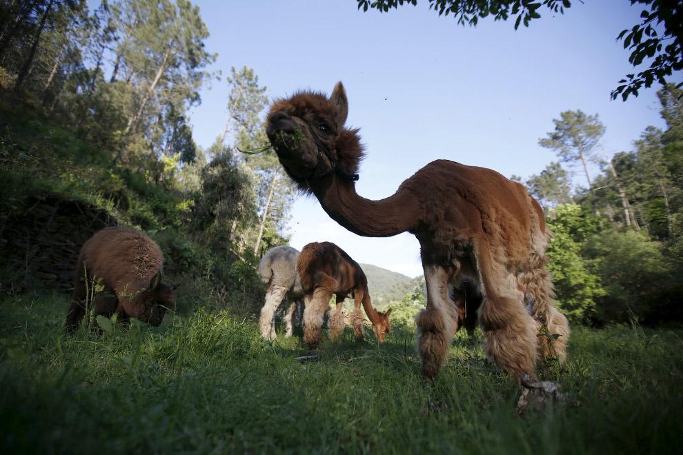 9. Они и правда немного похожи на верблюдов. (Фото Rafael Marchante | Reuters):