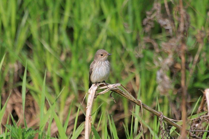Маленькая серая птичка (вероятно, серая мухоловка, Muscicapa striata) на сухой травинке у реки Мостовицы