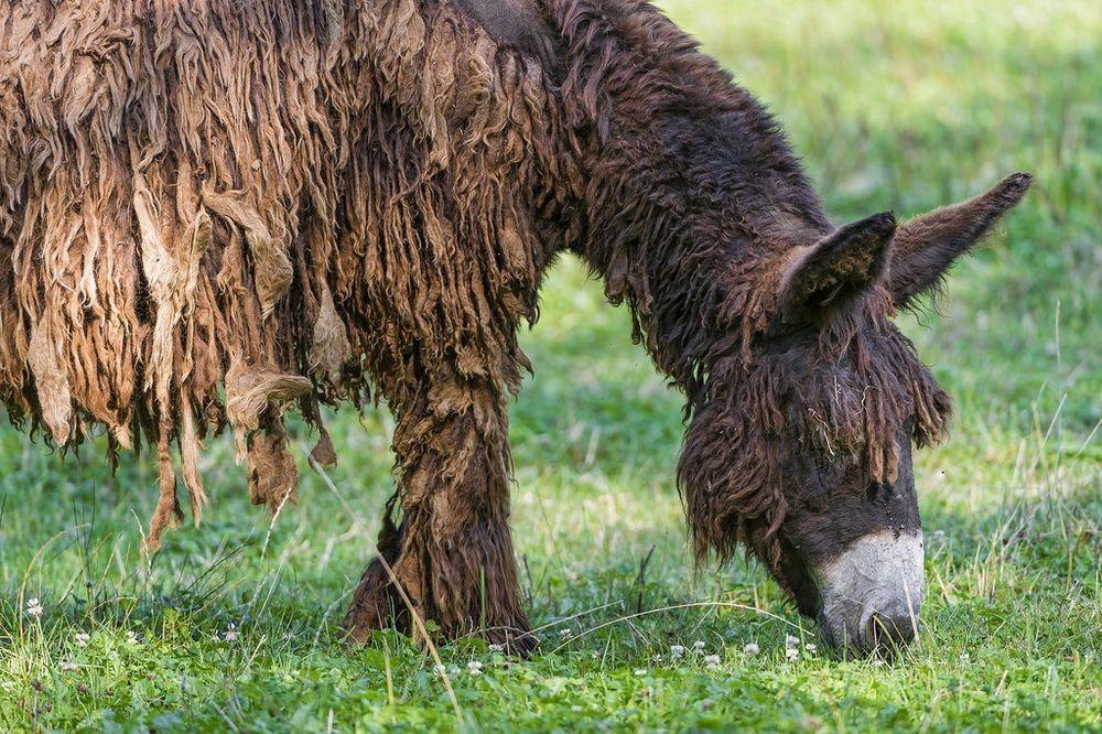 poitou-donkeys-16.jpg